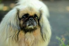 How Does your Dog Age? Find Out How Old your Dog is! http://www.pekinews.com/how-do-dogs-age-how-old-is-your-pekingese/