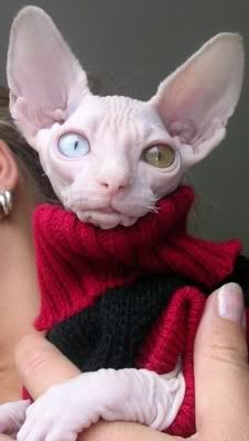 Well dressed cat, but totally freaky looking!