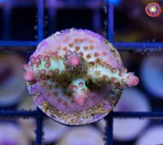"Acropora insignis - ORA ""Ant"" Insignis Acro 1.5"" SPS Acropora acro Live Coral Reef Tanks, Fish Tanks, Reef Aquarium, Saltwater Aquarium, Sps Coral, Nano Cube, Live Coral, Soft Corals, Live Rock"