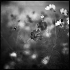 Photography, Medium format in Nature, Vegetal, Flower, plant, HasselBlad 2000FC/M  / Planar 110mm F2 / TMAX100 - Image #477363