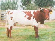 Pineywoods and Florida Crackers are triple-purpose cattle ideal for small-farm beef production, milking, and draft purposes (they make outstanding small oxen), especially in the Southeastern tier of states. Beef produced by these breeds is lean, flavorful, and their smaller carcasses make ideal freezer beef for today's smaller families.