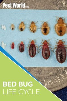 Bed bugs are small but mighty pests. They can reproduce quickly, making infestations difficult to treat, and survive months without a host. Itching to learn more? Head to PestWorld to learn more about the life cycle of this elusive pest! Bed Bugs, Bugs And Insects, Animal Control, Life Cycles, Treats, Travel, Hipster Stuff, Sweet Like Candy, Goodies