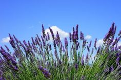 From music and culture, to food and prosecco! Here are my top picks for festivals and events this May 2019 on the beautiful Island of Ireland. Free Pictures, Free Photos, Free Images, Floral Design School, Farm Facts, Young Living Lavender, Fire Festival, Lavender Fields, Lavander