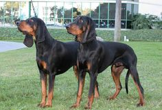 The Black and Tan coonhound is an American dog used to trail and tree raccoon. Their coat is coal black with tan markings and they are members of the hound group. They were AKC recognized in 1945 and range in size from 23 to 27 inches tall at the shoulder.  The Black and Tan Coonhound has an average lifespan of 10 to 12 years. They are prone to minor health concerns such as ectropion and hypothyroidism, and major issues like canine hip dysplasia. They  occasionally suffers from Hemophilia B.