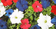 Top options for planting a red, white and blue flower garden (@ She Knows)