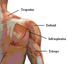 Understanding shoulder anatomy and all of the structures of the shoulder can help in prevention and treatment of shoulder sports injuries. Learn the muscles, ligament, and bones of the shoulder joint. Shoulder Workout Routine, Best Shoulder Workout, Dumbbell Shoulder, Shoulder Muscles, Arm Muscles, Shoulder Anatomy, K Tape, Shoulder Raises, Shoulder Joint