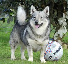 Swedish Vallhund-it's like a wolf corgi! Dog Paws, Pet Dogs, Dogs And Puppies, Wolf Corgi, Dog Pictures, Animal Pictures, Rare Dogs, Norwegian Elkhound, Beautiful Dogs