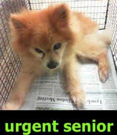 GOLDY (A1799185) I am a male gold Pomeranian. The shelter staff think I am about 10 years old. I was found as a stray and I may be available for adoption on 07/15/2016. — Miami Dade County Animal Services. https://www.facebook.com/urgentdogsofmiami/photos/a.474760019225073.115405.191859757515102/1236380446396356/?type=3&theater