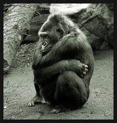EL gorila triste | Flickr: Intercambio de fotos #animallovers #gorilla #gorillafans #animals