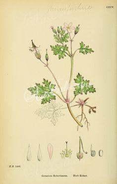Herb Robert, geranium robertianum ...