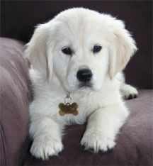 English Creme Golden Retriever- looks just like Cooper did!