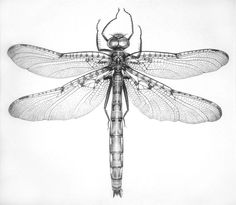 Skimmer - graphite drawing    Sold