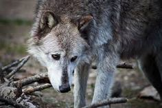 End the Inhumane Breeding of Captive-Born Wolves ! PLEASE sign : http://animalpetitions.org/4229/end-the-inhumane-breeding-of-captive-born-wolves/?utm_source=rss&utm_medium=rss&utm_campaign=end-the-inhumane-breeding-of-captive-born-wolves&utm_source=Animal+Petitions&utm_campaign=5b3537e709-RSS_EMAIL_C