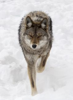 The BeaTimber Wolf By Rachel Bilodeauuty Of Wildlife