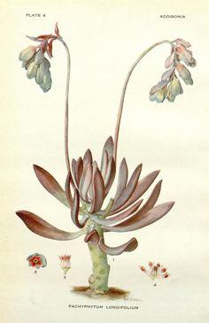 Pachyphytum longifolium. Addisonia : colored illustrations and popular descriptions of plants v.1. New York :New York Botanical Garden,1916-[1964]. Biodiversitylibrary. Biodivlibrary. BHL. Biodiversity Heritage Library