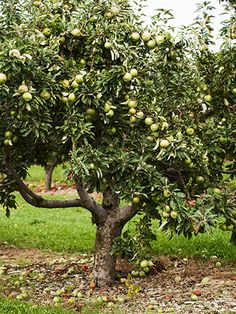 "13 Plants That Give You Bang for Your Buck  trees:  apple    ""Apple trees produce lovely, fragrant pink blooms followed by fruit. Plus, they can be trained on a wall, as espaliers, or bent over arches."