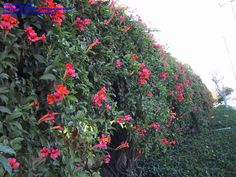 for my fence - always wanted scarlet trumpet vine