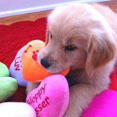 Golden retriever puppies for valentine's day