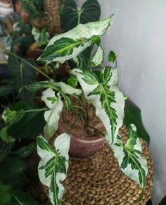 Rare Plants, Exotic Plants, Variegated Plants, House Plant Care, Indoor Plants, Indoor Gardening, Foliage Plants, Types Of Plants, Plant Decor