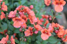 Darla Orange Diascia -Soft orange flowers arise on mounded plants. Very free-flowering and heat tolerant.