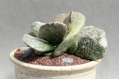 CHEIRIDOPSIS DENTICULATA Planta suculenta viva  5,5 pot Succulent Plant Rare