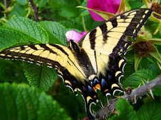 Swallowtail butterfly rests atop wild  roses. Splashes of yellow, pink, blue, and green make for a colorful eye-catching photo.