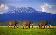 Mount Kilimanjaro and elephants in  Amboseli National Park in Kenya in foreground - I summited on 23 Sept. 1981