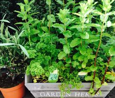 Garden Herbs!