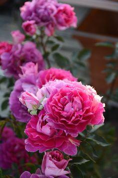 'Sherazade' rose