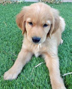 Simba the Golden Retriever. Oh Simba, aren't you just the cutest thing ever