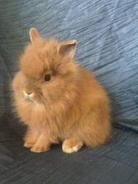 Lionhead Rabbit. Looks like our Toby, only he's dark grey!:)