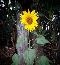 No coração de quem faz a guerra nascerá uma flor amarela. Como um girassol. Como um girassol. Como um girassol amarelo,amarelo...🎶🌻
