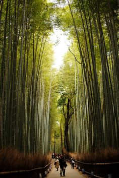 Path of Bamboo in Arashiyama, Kyoto, Japan (竹林の小径 Path of Bamboo #1 [Explored] by sunnywinds, via Flickr)