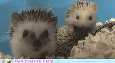 Yawning hedgehog GIF