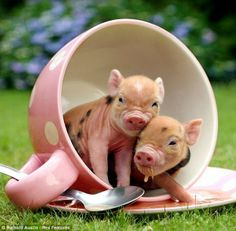 couple of pigs in a cup | Images of love, funny, hd, landscapes, actors, Pinterest and many more to share