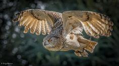 Photograph Eagle Owl by Giorgia Marinoni on 500px