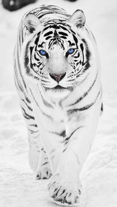 could be any animal in the world i'd be a WHITE TIGER! I love these beautiful majestic creatures!I could be any animal in the world i'd be a WHITE TIGER! I love these beautiful majestic creatures! Big Cats, Cats And Kittens, Cute Cats, Funny Cats, Nature Animals, Animals And Pets, Funny Animals, Cute Animals, Wild Animals