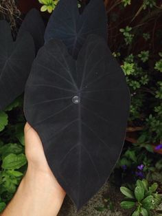 "Colocasia Esculenta ""Black Magic""""Black Magic"" is an elephant's ear cultivar which features unusual purplish-black leaves. It is a tuberous, stemless, frost-tender perennial of the arum family which typically grows tall and as wide."
