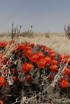 Echinocereus coccineus, USA, New Mexico, Chaves Co.  More Pictures at: http://www.echinocereus.de