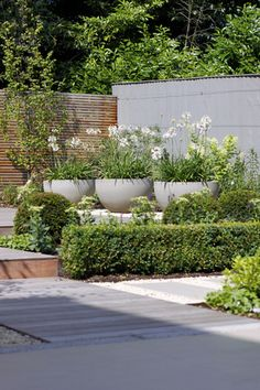 white agapanthus in planters                                                                                                                                                                                 More