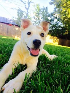 Dakota is an adoptable Husky searching for a forever family near Uxbridge, MA. Use Petfinder to find adoptable pets in your area.
