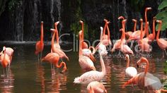 Check out this Birds Flamingoes Pink HD Stock Footage Clip. Static shot made at day. Long shot. 2012-03-06, SINGAPORE.