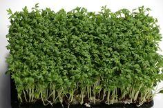Řeřicha setá, bylinka, která se dá pěstovat takřka kdykoliv a kdekoliv