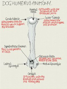 A place to find hints, tips and ask questions. : Key Terms… Tubercle -Also known as the Tuberosity...