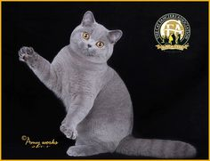 GC, BW, NW Woollencat Cocktail Rio, Blue Male British Shorthair - 22nd Best Kitten in China