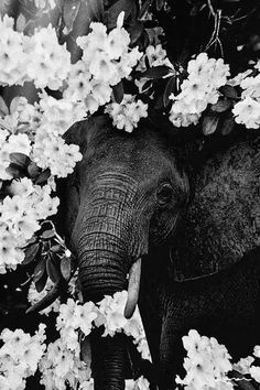 Elefant und Blumen - Photographs - animal animals background iphone wallpaper wallpaper iphone you didn't know existed planet animal drawings and white animal photography animals baby animals animals animals Image Elephant, Elephant Love, Elephant Art, Tier Wallpaper, Animal Wallpaper, Animals And Pets, Baby Animals, Cute Animals, Baby Hippo