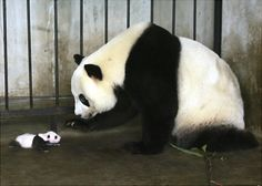 It's a panda stare-down! Giant panda Lou Sheng stays with her female cub at the Shaanxi Rare Wildlife Breeding and Research Center. The mother gave birth to a pair of twin cubs in August.  Read more: http://www.nydailynews.com/life-style/cutest-animal-kingdom-gallery-1.17271#ixzz2dZRspfvD