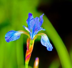 Doanhatao: Flower : Iris