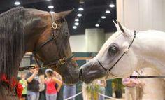 Arabian Stallions by desertnightcreations