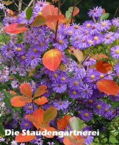 Glattblattaster, eine wüchsige gesunde und zuverlässige einfachblühende Sorte, z. B. für den Bauerngarten. Empfehlung!